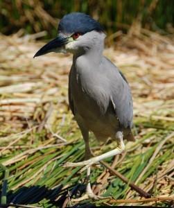 Deze vreemde vogel op een van de Uros eilanden bij Peru is een black crowned night heron. de lokale bevolking schijnt de vogels te eten...