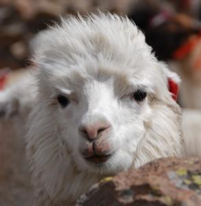Een alpaca in Peru. Deze zeldzame lama soort leeft in de Andes en wordt als huisdier gehouden voor de wol.