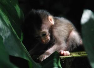 Dit inie-minie baby aapje is de wereld aan het ontdekken bij een tempel op Bali.