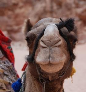Een kameel in Jordanië. Kamelen kunnen weken zonder water.