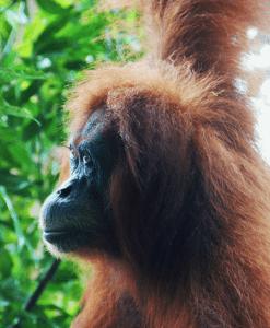 Een oerang oetan. Tijdens een jungle trek op Sumatra heb ik een aantal keren oog in oog gestaan met oerang oetans. Wat een prachtige beesten zijn het!