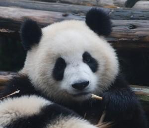 De reuzepanda is een van de meest bedreigde diersoorten. In Chengdu (China) is een bekend panda breeding centre, waar reuzepanda's en ook rode pandaberen leven en waar een fokprogramma bijdraagt in hun voortbestaan.