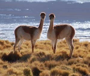 Deze lieve beestjes zijn vicuna's, een lama soort dat in de Andes leeft.