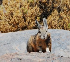 Dit grote konijn is een vizcacha, dat op de hoge vlaktes in Bolivia leeft.