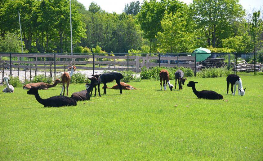 Slapen bij alpaca's op alpaca boerderij Zonneveld